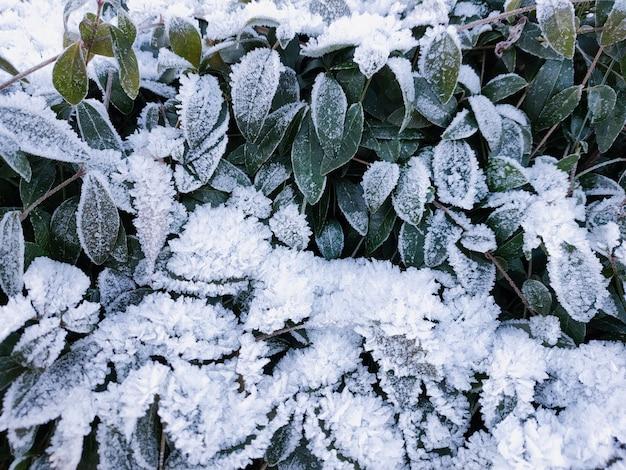 凍るような晴れた日に霜の結晶で覆われた緑の葉の眺め。