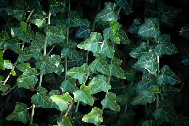 일반적인 담쟁이덩굴의 벽. 담쟁이덩굴은 벽에서 자랍니다. 어두운 로맨틱 톤의 아이비 텍스처입니다. 아이비 잎 배경 유럽 아이비, 영어 아이비 또는 아이비 hedera 나선