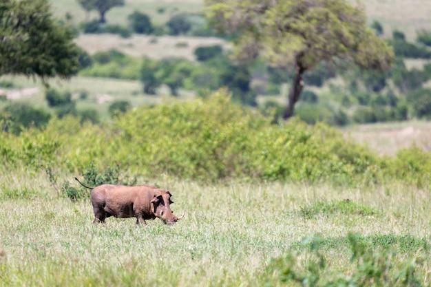 Бородавочник посреди саванны кении