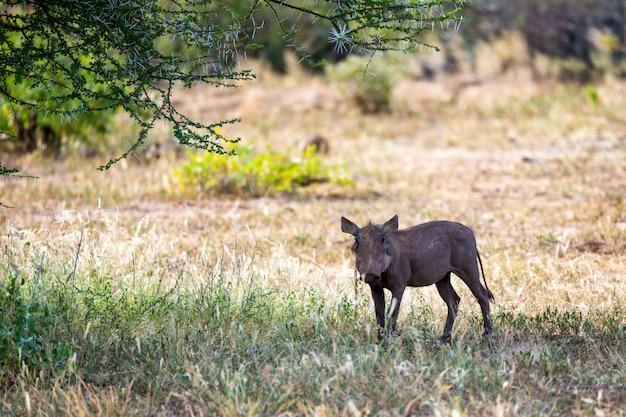 Бородавочник в саванне кении