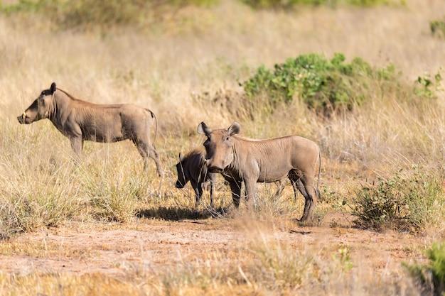 Бородавочник стоит посреди травы в кении