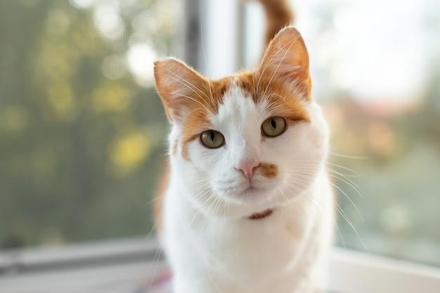 잘 먹인 고양이가 창가에 앉아 있습니다. 흰색-빨간색 고양이가 카메라를 바라보고 있습니다.