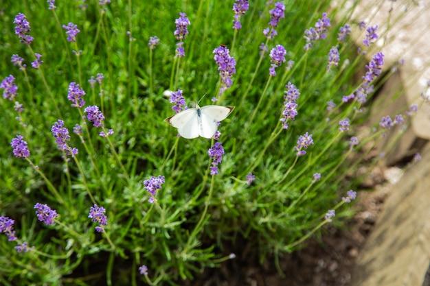 Белая бабочка сидит на ярко-фиолетовых цветках лаванды. фото высокого качества