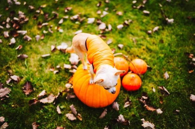 На тыкве сидит белая собака чихуахуа в оранжевом жилете. фото высокого качества