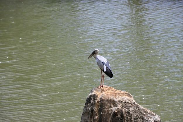 Белый ciconiformes стоит на скале у воды в солнечный день.