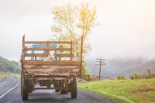 Белая собака сидит в кузове старого грузовика, едущего по асальтической дороге через деревню