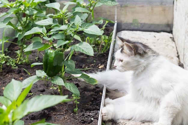温室にいる白いふわふわの猫は、成長しているピーマンを見ています。野生動物