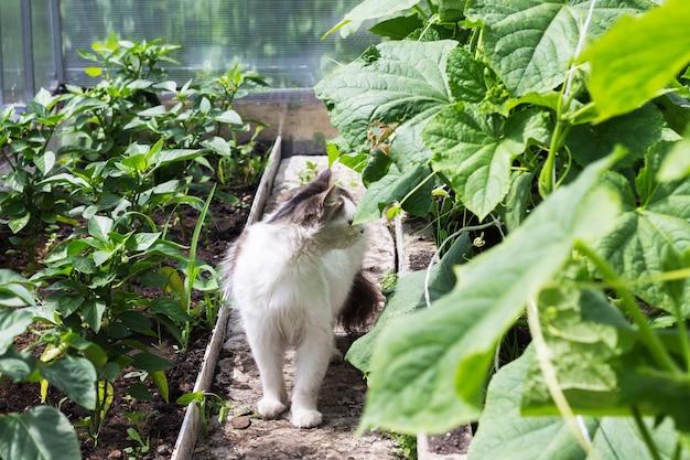 白いふわふわの猫がきゅうりとピーマンの苗を持って温室の中を歩きます。野生動物