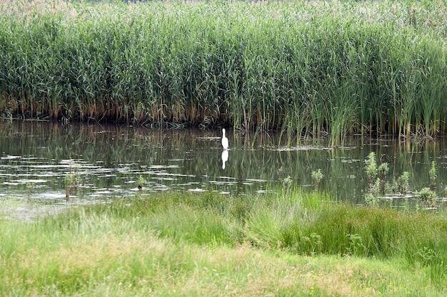 葦に囲まれた池に白い鷺が立っている。