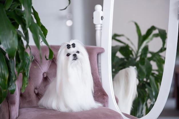 Белая мальтийская собака в красивом интерьере. великолепный уход.