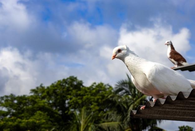 아침에 양철 지붕 위에 서 있는 흰 비둘기