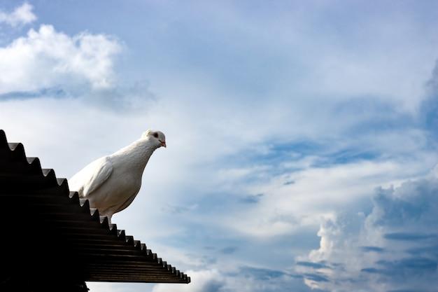 극적인 흐린 하늘 아래 양철 지붕에 서 있는 흰 비둘기