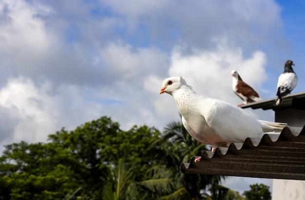 양철 지붕에 서 있는 호기심 많은 흰색 비둘기를 닫습니다.