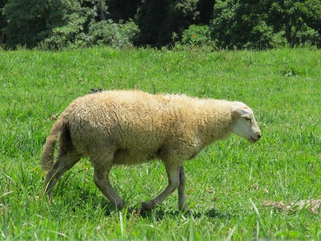 목초지에서 흰 양