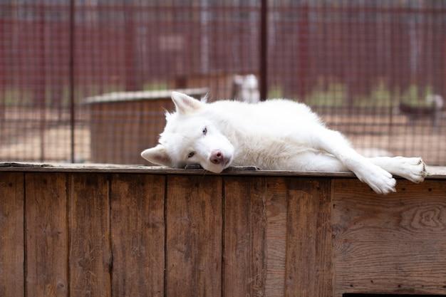 Белый сибирский хаски лежит на деревянном доме. собака лежит, скучает и отдыхает. фото высокого качества