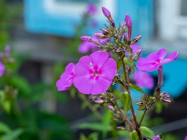 白い蜘蛛が紫色のフロックスの花の上に座っています。クローズアップ、動植物