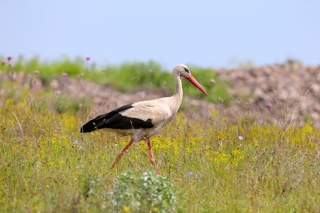 白いコウノトリが背の高い色とりどりの草の中を歩き、食べ物を探します。
