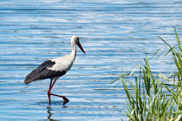 Белый аист с длинной шеей и длинным красным клювом в реке