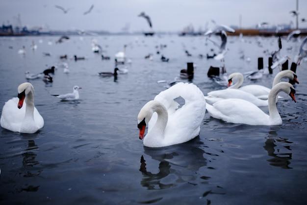하얀 백조가 백조 게와 비행 선원과 함께 맑은 바다에 우아하게 떠 있습니다.