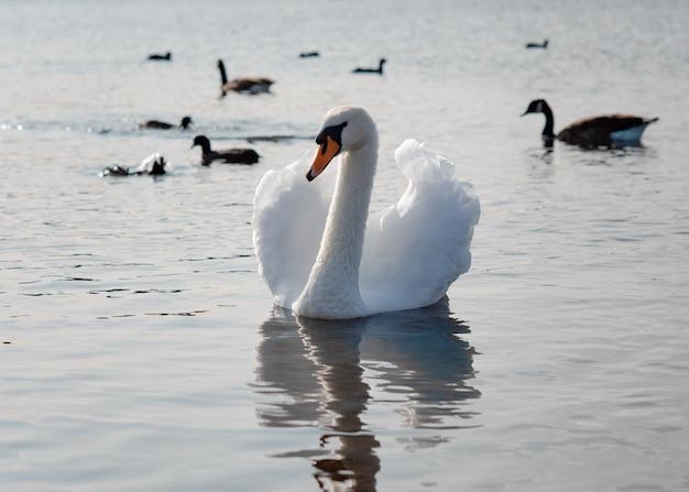 Белый лебедь на озере в солнечный весенний день