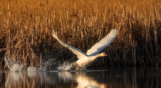 白い白鳥が離陸するか、湖に着陸します。ミラーダンスは鳥のシルエットを反映しています。素晴らしい夏の朝の風景。