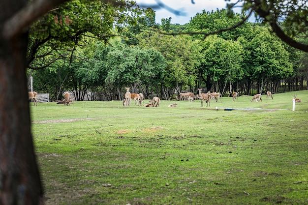 Белохвостый олень олень стоя на лугу. косули стоя в поле.