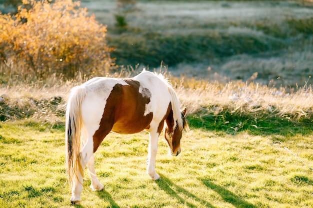 白茶色の馬が夕日の光の中で牧草地を歩く