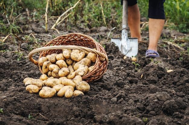 シャベルポテトを掘る女性の近くの庭にあるジャガイモの籐のバスケット