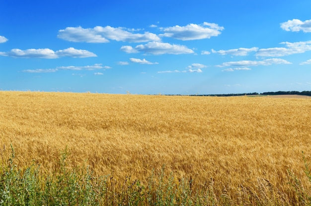 小麦の穂の広い黄色い畑とその上の青空