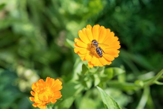 야생 꿀벌은 야생화에서 꿀을 수집합니다. 자연 배경으로 녹색 초원에 노란색 꽃