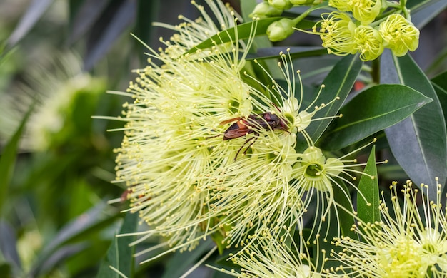 庭の黄金のパンダの花から蜂蜜を集める野生のミツバチがクローズアップ