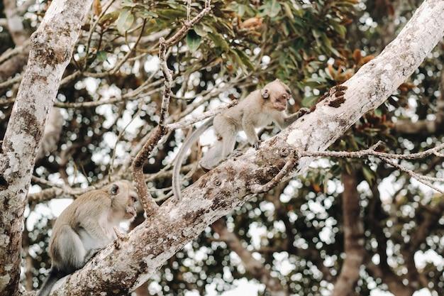 야생의 살아있는 원숭이가 모리셔스 섬의 나무에 앉아 있고, 모리셔스 섬의 정글에있는 원숭이들.