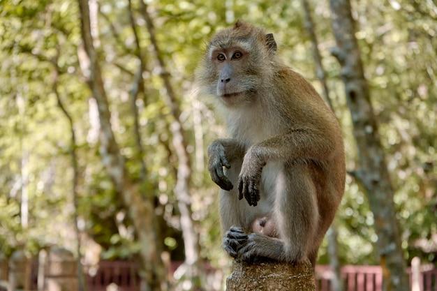 Дикая обезьяна сидит на мосту в мангровом лесу.