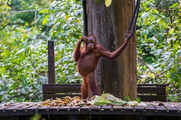 ボルネオ島の熱帯雨林の野生のオランウータン