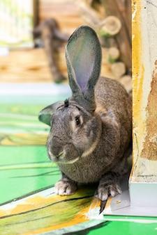 큰 귀를 가진 야생 토끼가 듣고 있고, 토끼는 벽 뒤에서 내다 본다. 초식 동물.