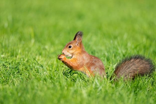 Дикая белка ест в парке с зеленой травой