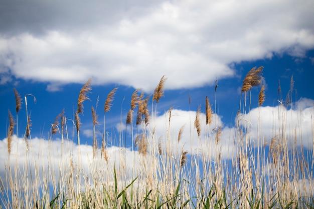 雷雨が葦の水生植物ススキの穂をかき混ぜる風