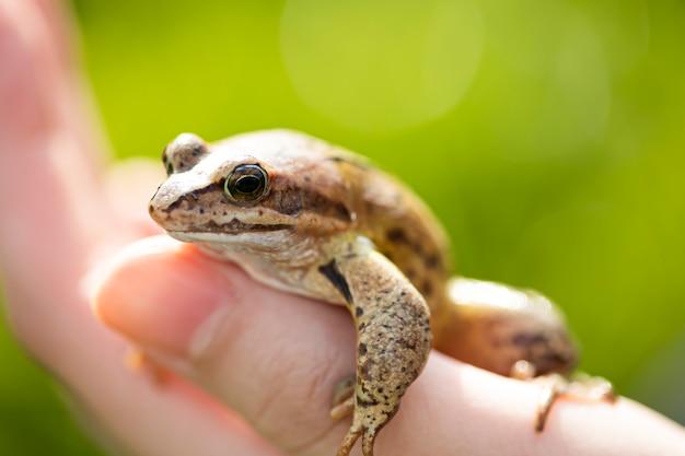 機知に富んだカエルが男の手に座っています。美しい小さな沼のカエル。