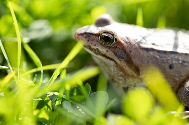 機知に富んだカエルは、太陽の光の下で草の上に座っています。沼カエルのクローズアップ。