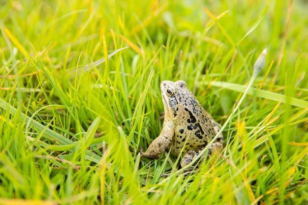 機知に富んだカエルが太陽の光の下で草の上に座っています。沼地のカエルのクローズアップ。