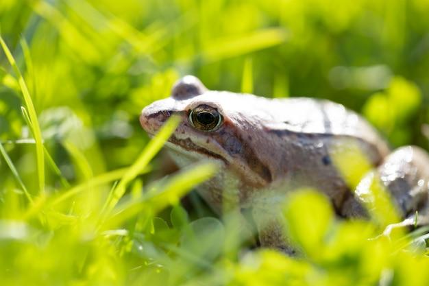 機知に富んだカエルが太陽の光の下で草の上に座っています。沼のカエルのクローズアップ。
