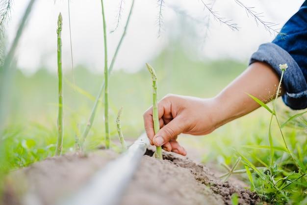 Женщина собирает зеленую спаржу в своем саду. домашняя ферма, выращивайте спаржу дома
