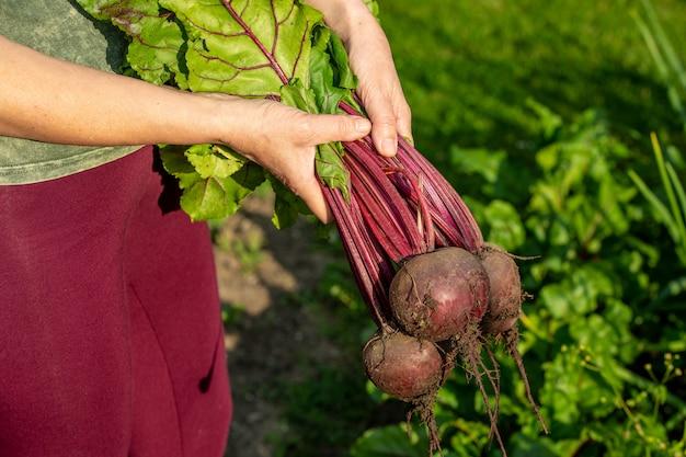 彼女の巨大な有機栽培の庭、ガーデニングの概念から新鮮なビートの根を収穫する女性農家