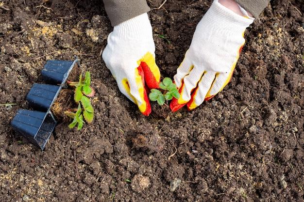 女性の庭師が地面にイチゴを植えています