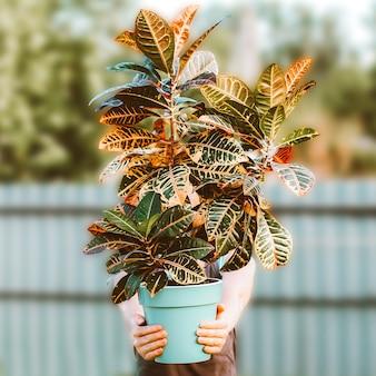 女性は鉢植えのクロトンの花を持っています。美しい屋内植物の概念