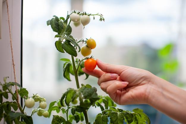 한 여자가 잘 익은 노란 토마토를 고릅니다. 창턱에서 자라는 설익고 익은 작은 토마토. 녹색 과일이 있는 나뭇가지에 있는 온실에 있는 신선한 미니 야채. 덤불에 어린 과일.