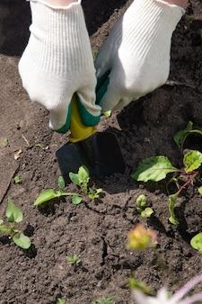 흰 정원 장갑을 낀 한 여성의 손이 정원 삽으로 잡초를 퍼냅니다. 원예, 잡초 방제 개념입니다.