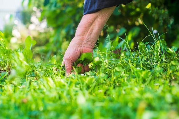 여자의 손이 풀을 꼬집고 있습니다. 정원에서 잡초와 해충 방제.