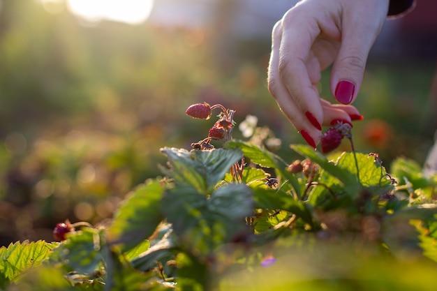 Женская рука срывает в саду клубнику. Premium Фотографии