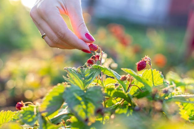 Женская рука срывает в саду клубнику.